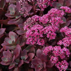 Sedum Hylotelephium 'Firecracker' (SunSparkler Series) (PBR)