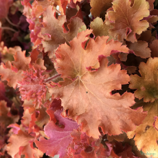 Heuchera 'Gojiberry' Indian Summer Series