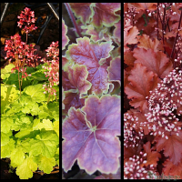 Heuchera 'Sweet Tart', Heuchera 'Miracle', Heuchera 'Peach Crisp'