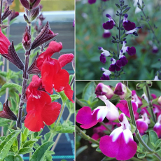 Salvia Special Collection
