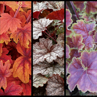 Heucherella 'Sweet Tea', Heucherella 'Twilight' Heuchera 'Miracle'