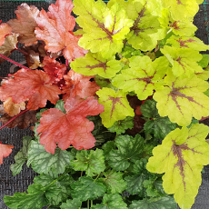 Heuchera & Heucherella Happy Days Collection