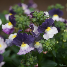 Nemesia 'Blueberry Ice' Sundae