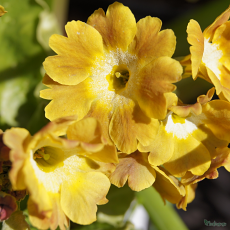 Primula 'Butterscotch Ruffles'