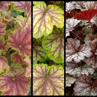Heuchera 'Picasso', Heuchera 'Van Gough', Heucherella 'Twilight'