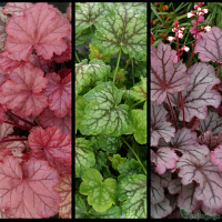 Heuchera 'Pauline' TM (Fox series), Heuchera 'Thomas' TM (Fox series), Heuchera 'Sugar Berry'