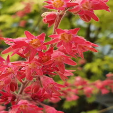Heuchera 'Charlotte' TM (Fox series)