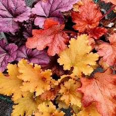 Heuchera Sunny Collection