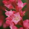 Heuchera sanguinea - 'Corallion'