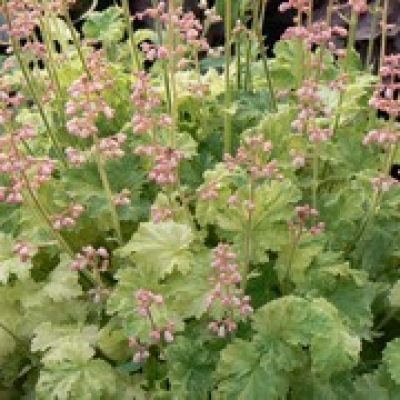 Heuchera 'Strawberries & Cream'