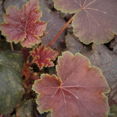Heuchera 'Zabeliana'