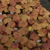 Heuchera 'Apricot' sales plants