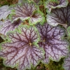 Heuchera 'Beauty Colour ' in Summer