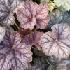 Heuchera Beauty Colour in Winter