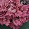 Heuchera Berry smoothie in May