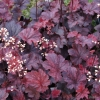 Heuchera Cajun Fire in mid summer