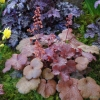 Heuchera Cherry Cola if grown in partial shade or in the winter