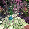 Heuchera Circus at it launch at Chelsea Flower show