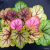 Heuchera Circus all the colours it can go in during the year, not all at once though