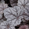 Heuchera Cinnabar Silver in Summer