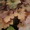 Heuchera Creme Brulee in early Summer