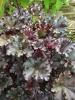Heuchera Dark Secret grown in the partial shade