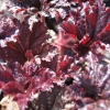 Heuchera Dark Secret close up in Spring before it darkens