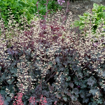 Heuchera 'Ebony and Ivory'