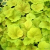Heuchera Electric Lime in Spring (sales plants)