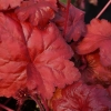 Heuchera 'Fire Alarm' in Summer close up of leaf