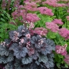 Heuchera Frost in summer