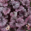 Heuchera Frost in late summer