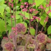 Heuchera Gauguin in flower