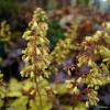 Heuchera Ginger Ale close up of flower