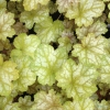 Heuchera Ginger Ale in Spring