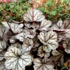 Heuchera Glitter in early Spring