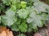 Heuchera 'Green Finch Select'foliage close up