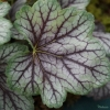 Heuchera 'Green Spice' close up!