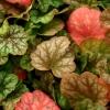 Heuchera 'Green Spice' in Winter