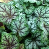 Heuchera 'Green Spice' in Summer