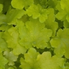 Heuchera Lime Marmalade close up of foliage in Spring