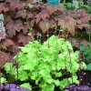 Heuchera Lime Marmalade in Spring amongst the other heucheras