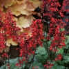 Close up of Heuchera Lipsticks flowers
