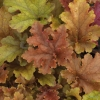 Heuchera Marmalade Growing in shade, late autumn