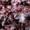 Heuchera Midnight Ruffles Autumn