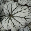 Close up of Heuchera Milan foliage