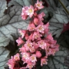Heuchera Milan flowers close up.