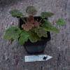 Size and condition of Heuchera Miracle you can expect