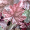 Heuchera Morello in Spring