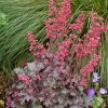 Heuchera Mysteria in Summer